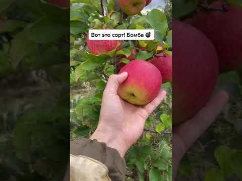 Угадайте сорт Яблони? | Выращиваем яблоки правильно