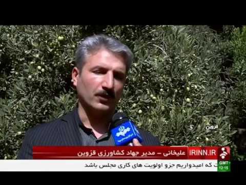 Iran Tarom county, Organic Olive harvest برداشت زيتون ارگانيك شهرستان طارم ايران