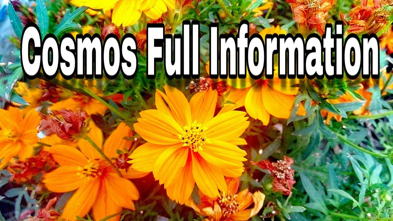 Full care information about cosmos summer blooming plant youtube full care information about cosmos summer blooming plant izmirmasajfo