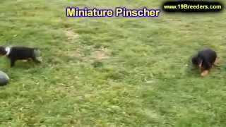 Miniature Pinscher, Puppies, For, Sale, In, Portland, Maine, Me, Brunswick, Waterville, Westbrook, S