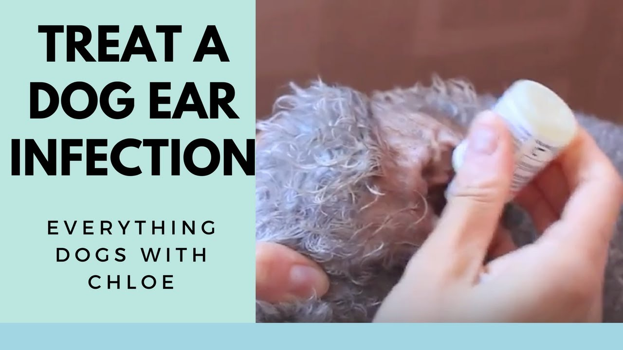 DOG EAR INFECTION TREATMENT - HOW TO TREAT - YouTube