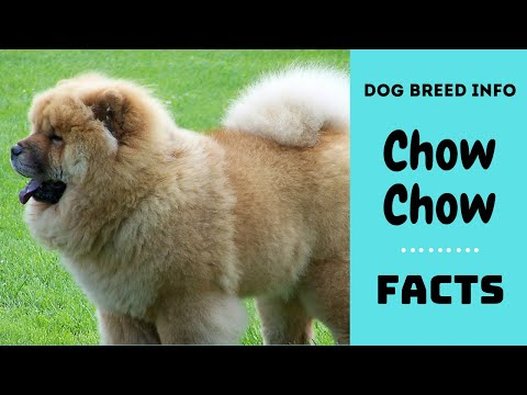 Chow Chow dog breed. All breed characteristics and facts about Chow Chow dogs