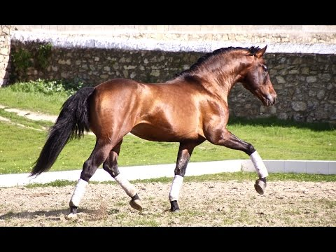 Andalusian horse for sale - Prospect for dressage