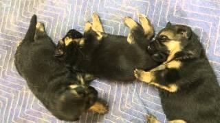 German Shepherd Puppies, Toronto, Ontario By Vom Issam Haus