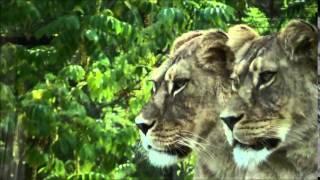 Panthera leo leo (Linnaeus, 1758) HD - Lion de l'Atlas - Parc Zoologique de Paris - 09/2014