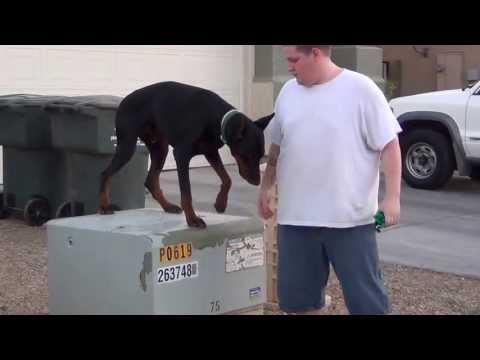European - Doberman - Pinscher - on/off leash - Obedience Training