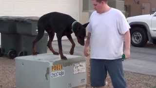 European - Doberman - Pinscher - On/off Leash - Obedience Training