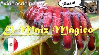 El Maíz Mágico Mexicano