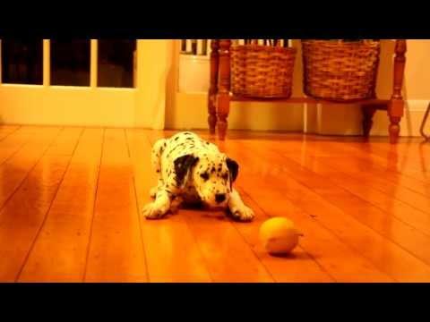 Dalmatian Puppy vs. Lemon