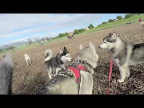 Siberian Husky Escapes Over Fence! Attacks Cat, Dalmation Puppy(KZE+)