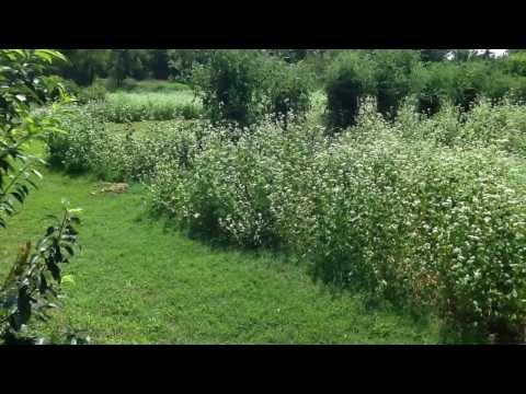 Little Creek Bee Ranch, Buckwheat plants make black honey!