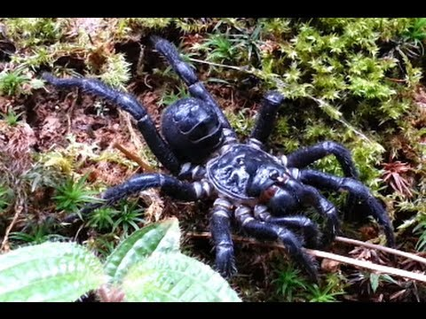 The Trapdoor Spiders in wildlife habitat.