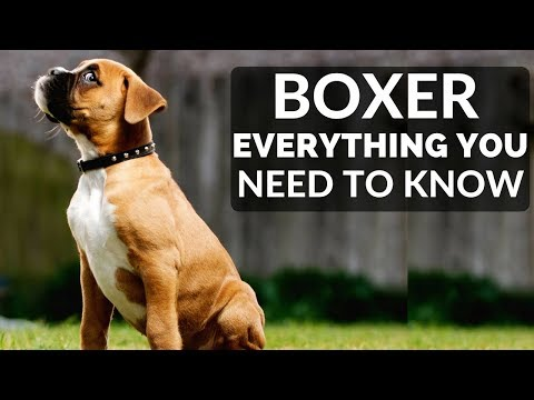 BOXER 101 - Everything You Need To Know About Owning A Boxer Puppy