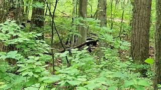 Black Bears in Shenandoah National Park June 2018