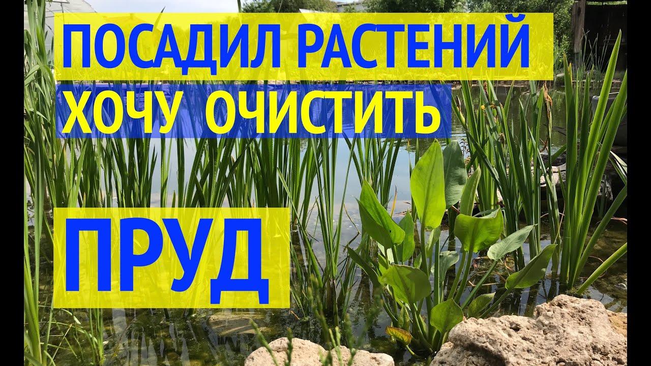 РАСТЕНИЯ ДЛЯ ПРУДА // БИОПЛАТО //12 видов растений в моем пруду // Какие растения очищают воду?