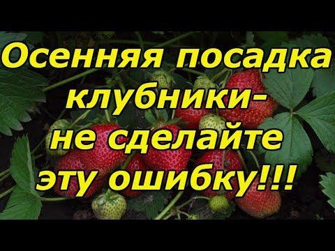 ОСЕННЯЯ ПОСАДКА КЛУБНИКИ-ОЧЕНЬ ВАЖНЫЕ МОМЕНТЫ!