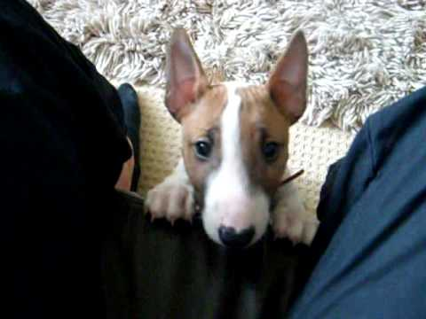 Mini Bull Terrier Pup Going Mad You