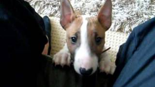 Mini Bull Terrier Pup Going Mad