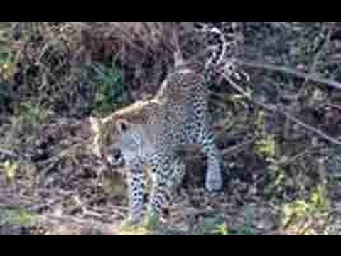 3 Leopards Lose Their Kill To A Crocodile - 1 September 2013 - Latest Sightings