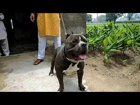 The American Bully OSCAR -  American Bully on sale - DOGGYZ WORLD 8813825366,7404011155