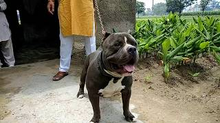 The American Bully OSCAR -  American Bully on sale - DOGGYZ WORLD 8813825366,7404011155