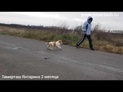 ТИМЕРТАШ ЯНТАРИНА (пока в резерве питомника) 2 месяца еще больше фото видео на сайте Www.timertash.r