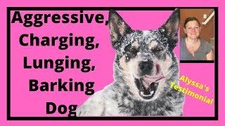 Barking, Charging, Lunging Dog