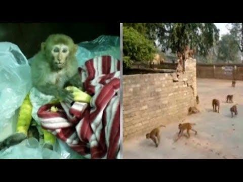 Monkeys Being Drugged With Sedatives To Catch Them, Allege Gurugram Animal Activists