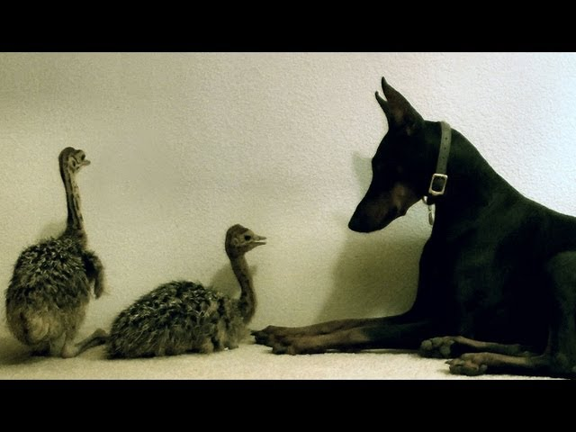Sweetest Doberman meets two baby Ostriches