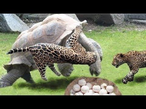 Increíble Jaguar cazando