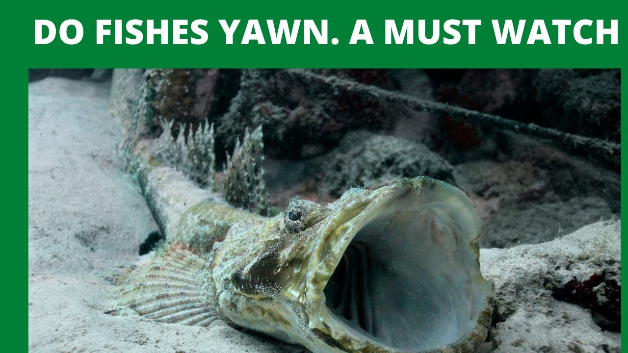 Ever Seen A Fish Yawn Soo Wide Watch This Youtube