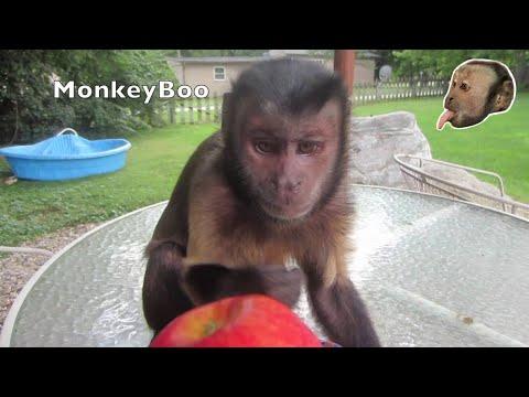 Capuchin Monkey Skins an Apple