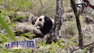 [中国新闻] 四川青川:唐家河保护区频现大熊猫踪迹   CCTV中文国际