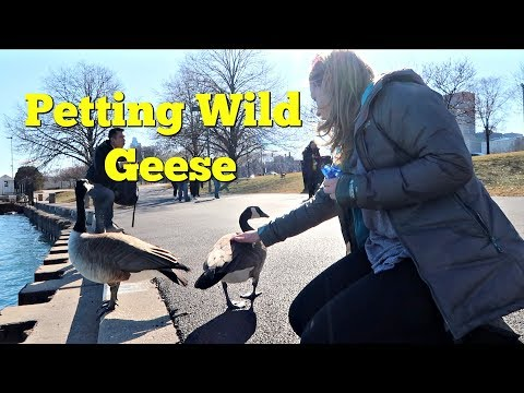 Petting Wild Geese In Chicago