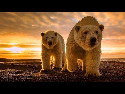 Best Documentary 2015 The Wild Brown Bears Animal [Top Documentary]