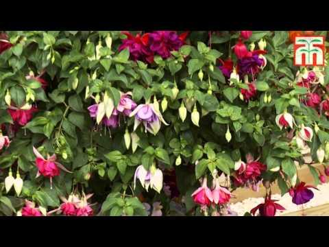 Fabulous Giant Flowering Fuchsias with Thompson & Morgan
