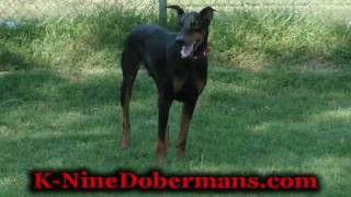 2 Yr  Old Doberman Puppy For Sale, Neutered Male, Other Puppies