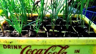 How to grow scallion/Chive from cuttings: Agrosuede Backyard Gardening