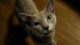 【ペット自慢動画】鳴き猫 thumbnail