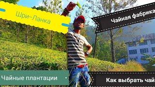 видео Чай Шри-Ланка