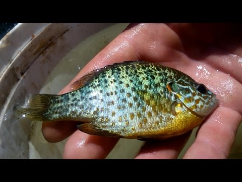 Словили интересную рыбку. Кто знает как называется? interesting fish Who know the name of the fish ?