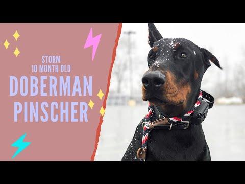 Best Doberman Pinscher Trainers in PA ||| 10 Month Old Doberman, Storm