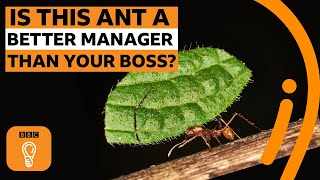 5 things ants can teach us about management | BBC Ideas
