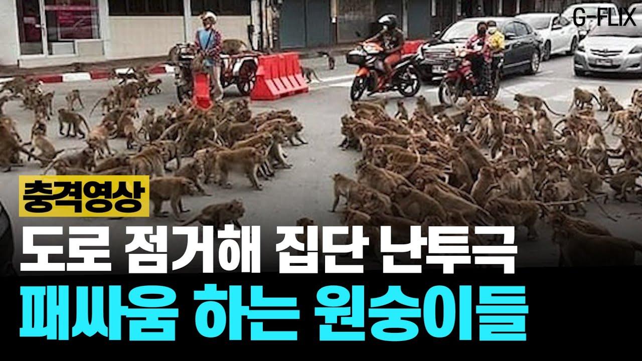 태국 원숭이 패거리 또 집단 난투극…도심 교통 마비