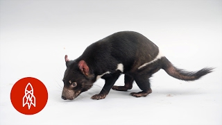 This Tasmanian Devil Is No Looney Tunes Character