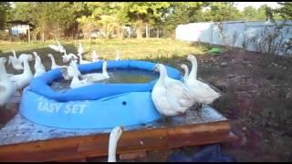 Выращивание гусей в домашних условмях Наглые гусиные морды