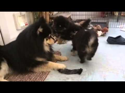 Slo-Mo Lapphund Puppy Bundle!