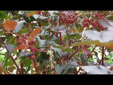 Пузыреплодник калинолистный Ред Барон (Physocarpus