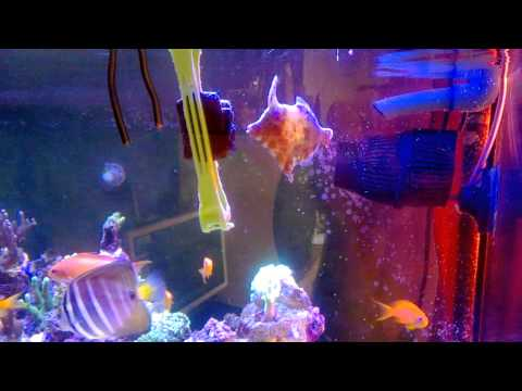 Aiptasia Eating Filefish Eating Nori Algae