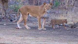 lion from Benin